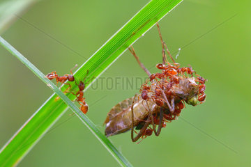 Dragonfly larva undergoing an attack by ants to feed. Prairies of the Fouzon. Loir and Cher. la France