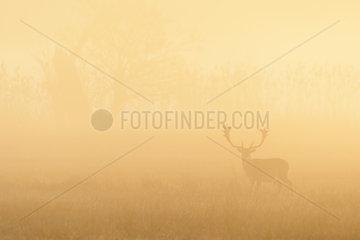 Fallow Deer (Cervus dama) on misty morning at sunrise  Autumn  Hesse  Germany  Europe