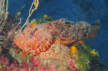 Black scorpionfish (Scorpaena porcus) on reef  Mediterranean Sea  French Riviera  France