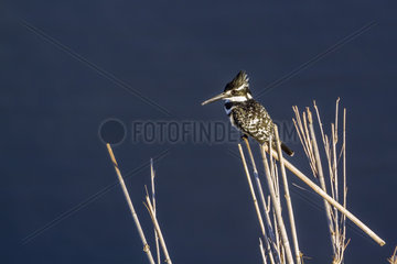 Pied kingfisher (Ceryle rudis) on reed  Kruger National park  South Africa
