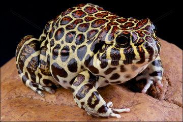 Coralline frog (Leptodactylus laticeps)  Paraguay