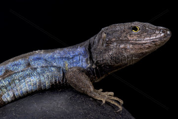 Southern Tenerife lizard (Gallotia galloti)  Tenerife island  Spain
