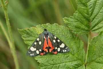 Scarlet Tiger moth (Callimorpha dominula) on a leaf  Hautes-Alpes  France