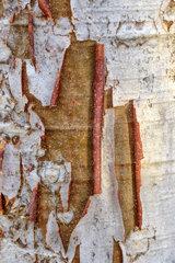 Bottle tree (Moringa drouhardii) bark  South of Toliara  Madagascar
