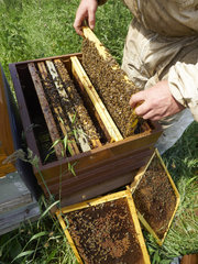 Beekeeping - Inspection of the hives during the production of honey in Annecy.
