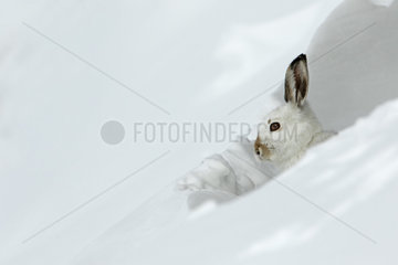 Mountain hare (Lepus timidus) in winter coat at the snow shelter  Alps  Switzerland.