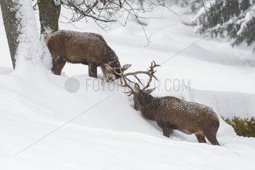 Fighting Red deers in Winter  Cervus elaphus  Bavaria  Germany  Europe