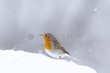 European Robin (Erithacus rubecula) in the snow  Alsace  France
