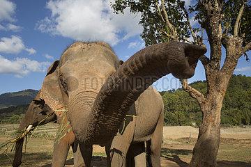 Asian Elephant (Elephas maximus)  Dumbo Elephant Spca  Nong Tao  Chiang Mai Province  Thailand