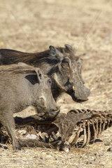 Desert Warthogs eating bones - Chobe Botswana