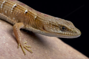 Southern alligator lizard (Elgaria multicarinata)  United States of America