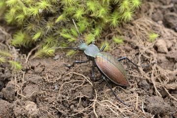 Chilean Magnificent Beetle (Ceroglossus chilensis spp. Fallaciosus)  Protected endemic species in Chile Cobquecura - VIII Region of Biobío - Chile