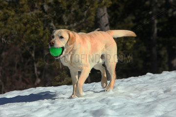 Labrador bring back ball in the snow - France
