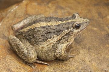 Moroccan Painted Frog (Discoglossus scovazzi)Striped shape  Morocco