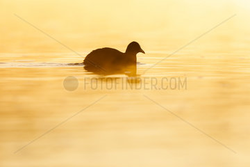 Silhouette of a coot (Fulica atra) swimming at sunrise  Ile du Rhin  Alsace  France