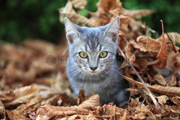 Kitten lying in dead leaves