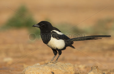 Magpie standing on a stone at spring - Spain