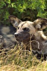Portrait of African Wild Dog in savannah - Khwai Botswana