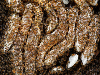 Honey bee (Apis mellifera) - Bees on the honey combs of a natural wax construction. In the natural nest  the bees do not always build parallel combs but adapt the nest's architecture to the environment for more robustness.