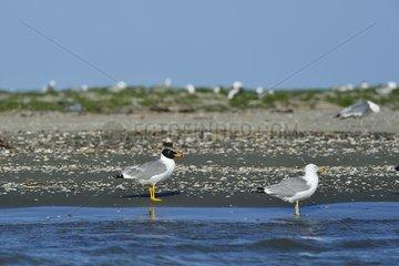 Pallas Gull and Caspian Gull - Danube Delta Romania