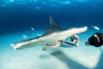 Scuba diver hand feeding a great hammerhead shark (Sphyrna mokarran) swimming over a sandy seabed  South Bimini  Bahamas. The Bahamas National Shark Sanctuary  West Atlantic Ocean.