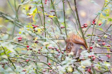Red squirrel (Sciurus vulgaris) eating in a wild roses bush (Rosa sp)  Goeteborg  Sweden