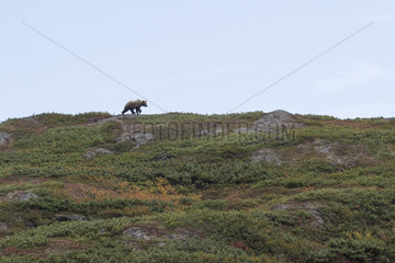 Kamchatka brown Bear (Ursus arctos beringianus)  Laguna Tintikun  Kamtchatka  Russia