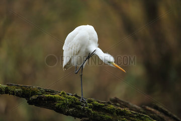 Great egret (Egretta alba) grooming on a dead branch in a Rhine backwater  Alsace  France