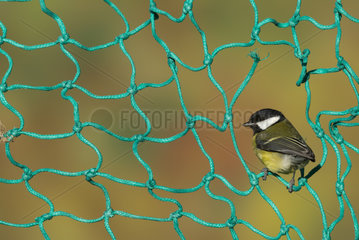 Great tit (Parus major) Great tit perched on a fishing net  England  Autumn