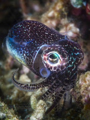 Young Cuttlefish in the reef  Indian Ocean  Mayotte