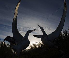 Wandering Albatross displaying at dusk - South Georgia