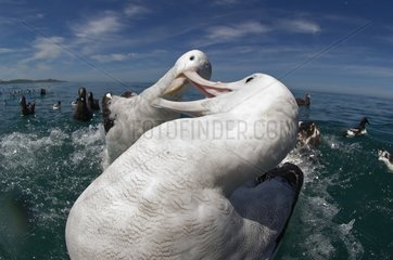 Gibson's albatross fighting over food - Kaikoura New Zealand