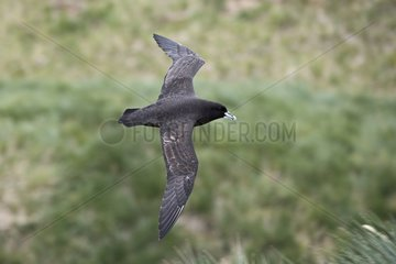 White-chinned Petrel over breeding colony - South Georgia