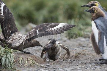 Brown Skua attacking a young Gentoo Penguin - South Georgia