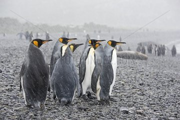 King Penguins in the snow on the shore - South Georgia