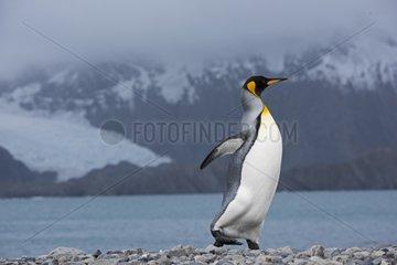 King Penguin walking on the shore - South Georgia