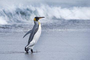 King Penguinout of water - South Georgia