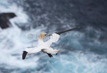 Northern Gannet hanging in the wind - Hermaness Shetland