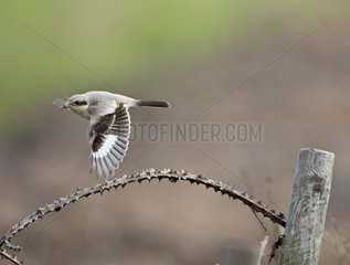 Steppe Grey Shrike in flight - Norfolk United Kingdom