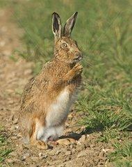 European Brown Hare in winter wheat field - Norfolk UK