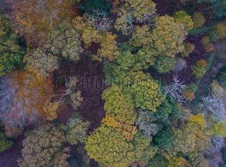 Oak grove in autumn - Thursford Wood Norfolk UK