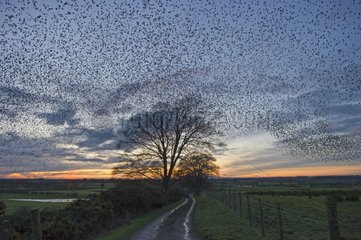 Starlings murmmurating prior to going to roost - Scotland