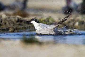 Gull-billed Tern snorting in water - Spain