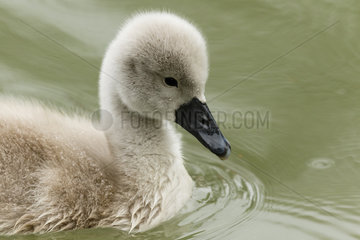 Mute Swan (Cygnus olor)young on the water  Alsace  France