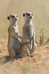 Suricates (Suricata suricatta) holding hands  Kgalagadi  South Africa