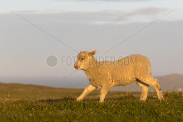 Sheep (Ovis aries) Young sheep running in a meadow at sunset  Shetland  Spring