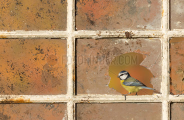 Blue tit (Cyanistes caeruleus) Blue tit perched on an old window  England  Autumn