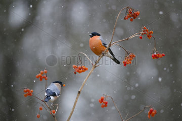 Couple of bullfinches (Pyrrhula pyrrhula) eating on a branch of Mooseberry  Regional Natural Park of the Vosges du Nord  France