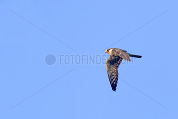 Amur falcon (Falco amurensis) (Falco vespertinus var. amurensis)  Up to one million birds are concentrated in Nagaland on their migration route to southern Africa. Doyang reservoir  Nagaland province  India