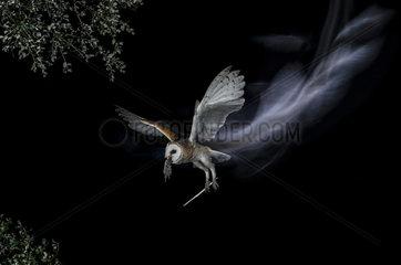 Effraie des clochers (Tyto alba) en vol avec proie de nuit  Espagne